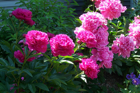 Plant Peonies Best Way to Plant Peonies and Poppies