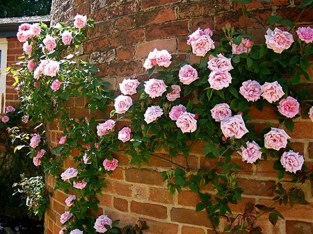 Scented Roses Garden 1 Best Way to Plant Scented Roses for Garden Walls and Fences
